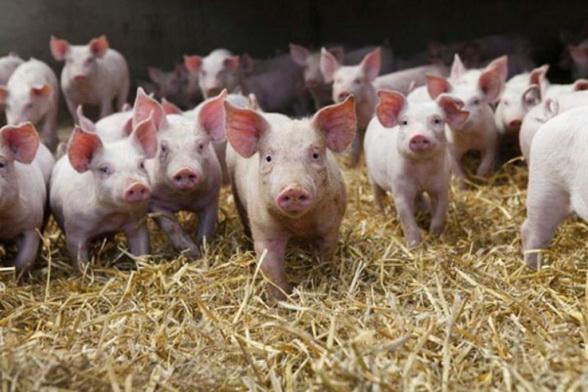 свинки в теплом сарае